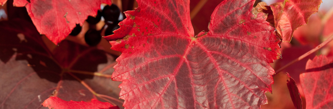 Why We Don't Sell Red Vine Leaf