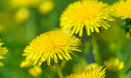 Why We Don't Sell Dandelion